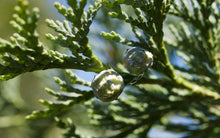 Load image into Gallery viewer, Port Orford Cedar | Small Tree Seedling | The Jonsteen Company
