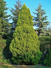Load image into Gallery viewer, Port Orford Cedar | Medium Tree Seedling | The Jonsteen Company