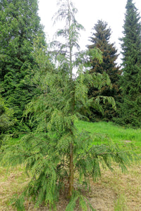 Port Orford Cedar | Small Tree Seedling | The Jonsteen Company