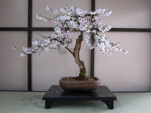 Load image into Gallery viewer, Japanese Flowering Cherry Blossom | Prunus serrulata | The Jonsteen Company