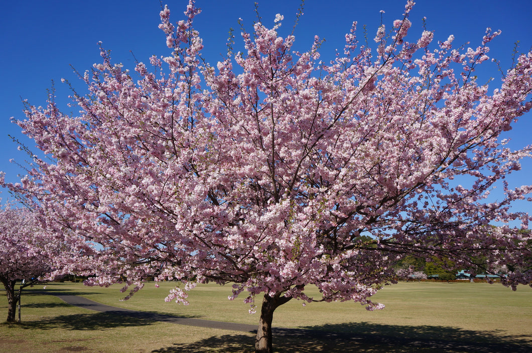 Japanese Flowering Cherry Blossom | Prunus serrulata | The Jonsteen Company