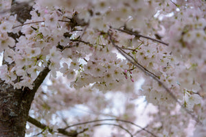 Flowering Cherry Blossom | Washington D.C. | Prunus x yedoensis | The Jonsteen Company