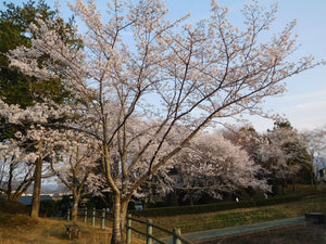 Japanese Flowering Cherry Blossom | Prunus x yedoensis | The Jonsteen Company