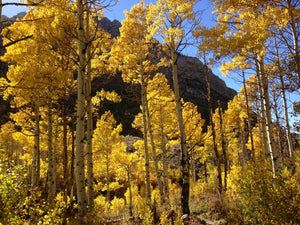 Quaking Aspen | Medium Tree Seedling | The Jonsteen Company