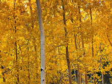 Load image into Gallery viewer, Quaking Aspen | Medium Tree Seedling | The Jonsteen Company
