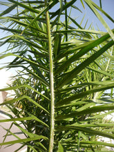 Load image into Gallery viewer, Queen Palm | Medium Tree Seedling | The Jonsteen Company