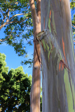 Load image into Gallery viewer, Rainbow Eucalyptus | Mini-Grow Kit | The Jonsteen Company