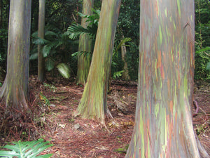 Rainbow Eucalyptus | Mini-Grow Kit | The Jonsteen Company