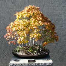 Load image into Gallery viewer, Bonsai Tree | Red Maple | The Jonsteen Company