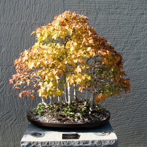Bonsai Tree | Red Maple | The Jonsteen Company