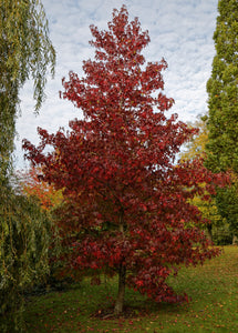 Red Maple | Medium Tree Seedling | The Jonsteen Company