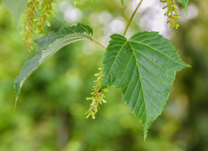 Red Snakebark Maple | Small Tree Seedling | The Jonsteen Company