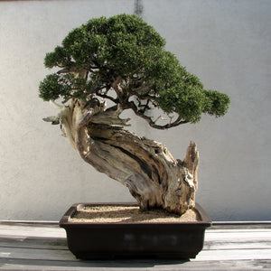 Bonsai Tree | Rocky Mountain Juniper | The Jonsteen Company