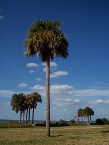 Palm Tree | Sabal Palm | The Jonsteen Company