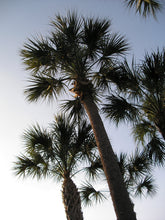Load image into Gallery viewer, Sabal Palm | Medium Tree Seedling | The Jonsteen Company