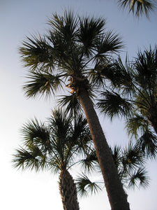 Sabal Palm | Medium Tree Seedling | The Jonsteen Company