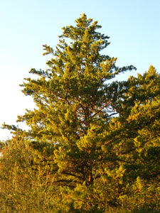 Santa Cruz Cypress | Small Tree Seedling | The Jonsteen Company