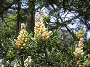 Scotch Pine | Small Tree Seedling | The Jonsteen Company