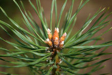 Load image into Gallery viewer, Scotch Pine | Small Tree Seedling | The Jonsteen Company
