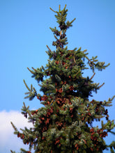 Load image into Gallery viewer, Serbian Spruce | Small Tree Seedling | The Jonsteen Company