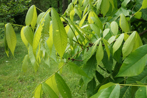Shellbark Hickory | Medium Tree Seedling | The Jonsteen Company
