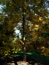 Load image into Gallery viewer, Shellbark Hickory | Medium Tree Seedling | The Jonsteen Company