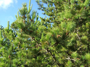 Shore Pine | Small Tree Seedling | The Jonsteen Company