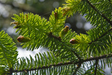 Load image into Gallery viewer, Sitka Spruce | Medium Tree Seedling