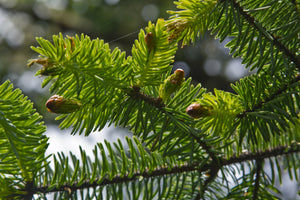 Sitka Spruce | Medium Tree Seedling