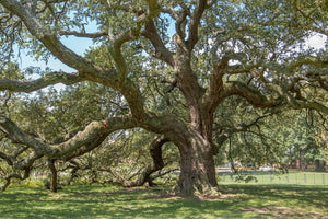 Southern Live Oak | Medium Tree Seedling | The Jonsteen Company