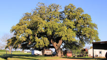 Load image into Gallery viewer, Southern Live Oak | Medium Tree Seedling | The Jonsteen Company