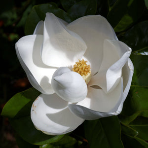 Southern Magnolia | Small Tree Seedling | The Jonsteen Company