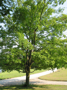 Sugar Maple | Large Tree Seedling | The Jonsteen Company