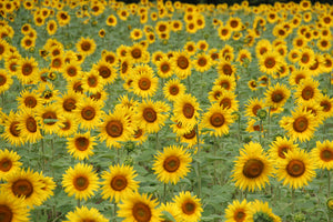 Sunflower | Flower Seed Grow Kit | The Jonsteen Company