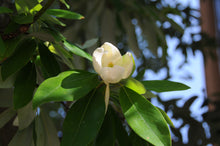 Load image into Gallery viewer, Sweetbay Magnolia | Small Tree Seedling | The Jonsteen Company