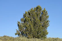 Load image into Gallery viewer, Tecate Cypress | Lot of 30 Tree Seedlings | The Jonsteen Company