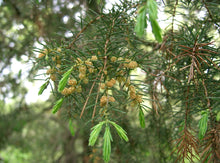 Load image into Gallery viewer, Temple Juniper | Medium Tree Seedling | The Jonsteen Company