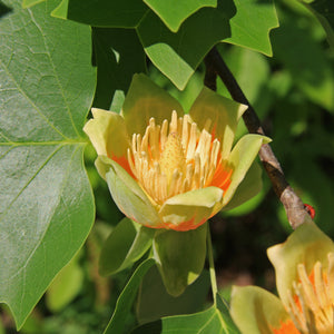 Tulip Poplar | Seed Grow Kit | The Jonsteen Company