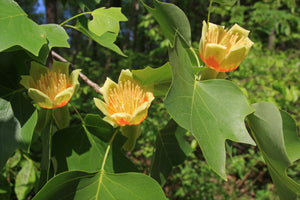 Tulip Poplar | Nursery Lot of 30 Tree Seedlings | The Jonsteen Company