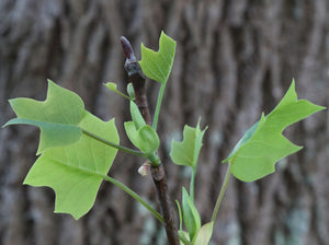 Tulip Poplar | Small Tree Seedling | The Jonsteen Company