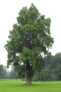 Arbor Day | Tulip Poplar | The Jonsteen Company