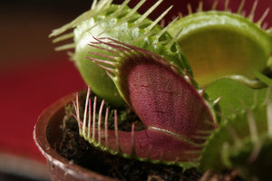 Venus Flytrap | Carnivorous Plant Grow Kit | The Jonsteen Company