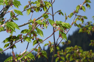Vine Maple | Medium Tree Seedling | The Jonsteen Company