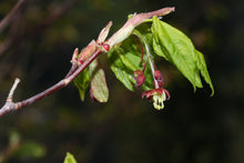 Load image into Gallery viewer, Vine Maple | Small Tree Seedling