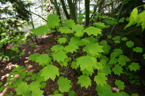 Vine Maple | Mini-Grow Kit | The Jonsteen Compan