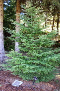 Western Hemlock | Small Tree Seedling