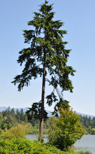 Load image into Gallery viewer, Western Hemlock | Small Tree Seedling | The Jonsteen Company