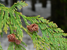 Load image into Gallery viewer, Western Red Cedar | Medium Tree Seedling | The Jonsteen Company