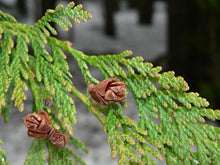 Load image into Gallery viewer, Western Red Cedar | Small Tree Seedling | The Jonsteen Company