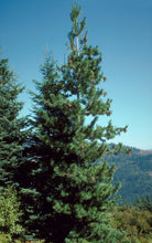 Load image into Gallery viewer, Western White Pine | Medium Tree Seedling | The Jonsteen Company
